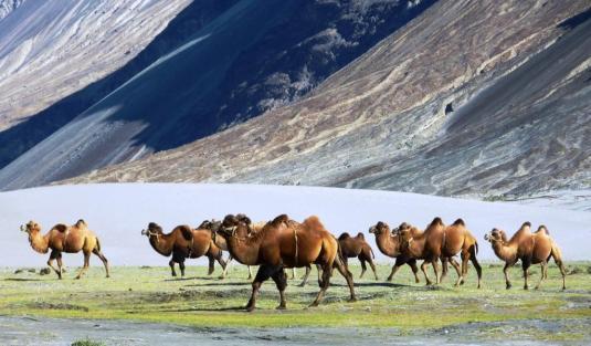 Bactrian_camels_-_Nubra