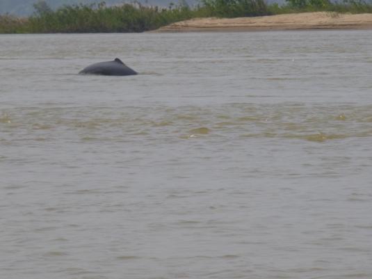 Un delfino di fiume, o Inia